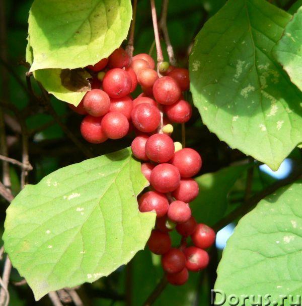 Лимонник китайский – саженцы, семена, ягоды, лоза - Прочее по животным и растениям - Предлагаем купи..., фото 5