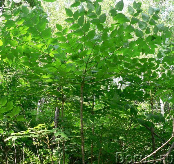 Аралия маньчжурская: саженцы, семена, корни - Прочее по животным и растениям - Предлагаем купить ара..., фото 2