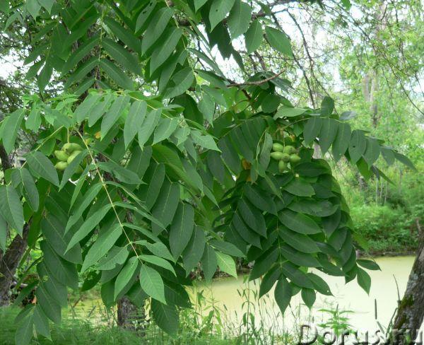 Маньчжурский орех: саженцы, семена, молодые плоды, настойка - Прочее по животным и растениям - Предл..., фото 3