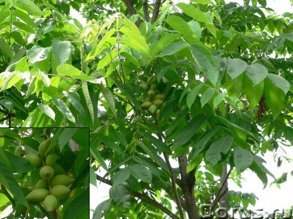 Маньчжурский орех: саженцы, семена, молодые плоды, настойка - Прочее по животным и растениям - Предл..., фото 4